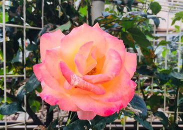 The Otsuka Rose Festival